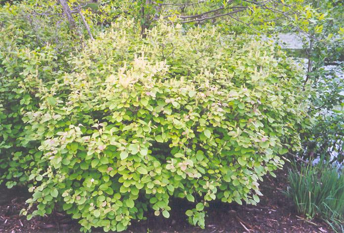 dwarf fothergilla fothergilla gardenii in milwaukee
