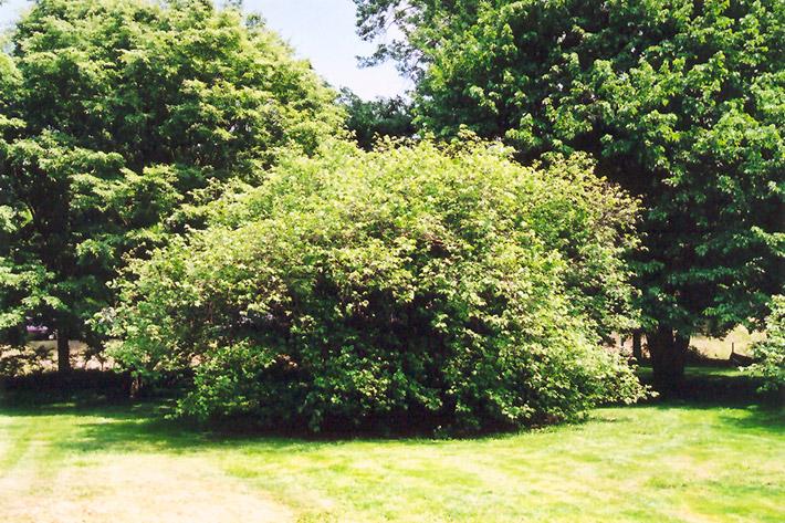 American Hazelnut Corylus Americana In Milwaukee Brookfield