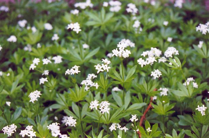 Sweet Woodruff Galium odoratum in Milwaukee Brookfield Waukesha