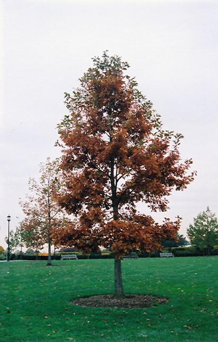 swamp white oak quercus bicolor at minors garden center - White Oak Garden Center