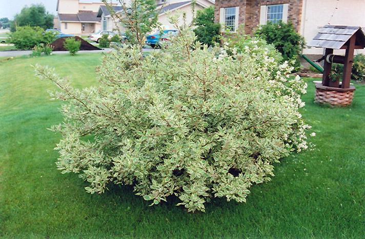 European Variegated Dogwood (Cornus alba 'Elegantissima ... Variegated Dogwood Tree