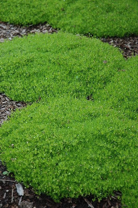 Irish Moss Sagina Subulata In Milwaukee Brookfield