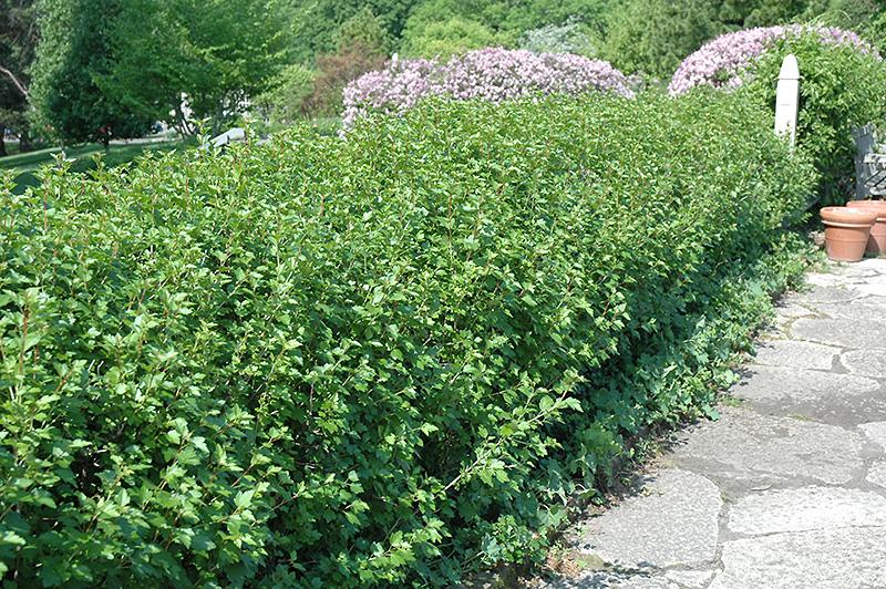 Chalet Nursery And Garden Center: Green Mound Alpine Currant (Ribes Alpinum 'Green Mound