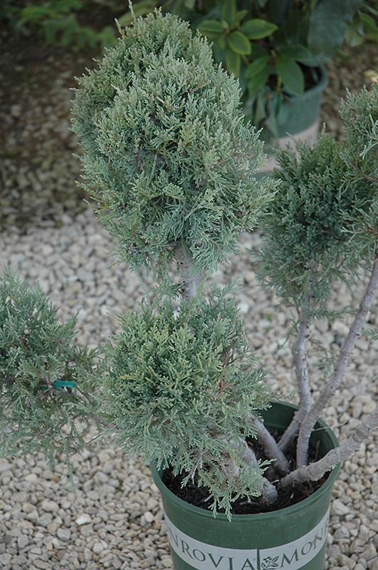 Hetz Blue Pom Pom Juniper Juniperus Chinensis 39 Hetz Blue