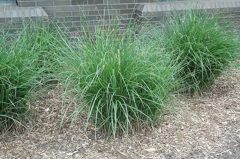 Gracillimus maiden grass miscanthus sinensis 39 gracillimus for Japanese mounding grass