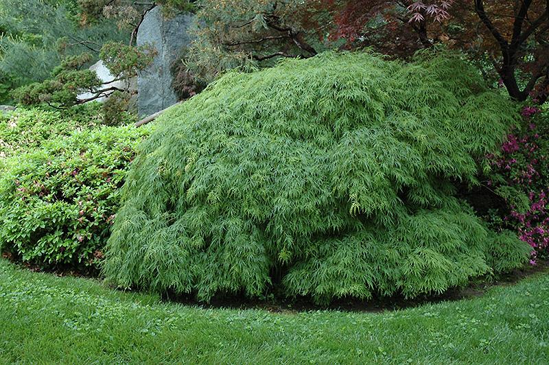 Cutleaf Japanese Maple Acer Palmatum Dissectum Viridis In