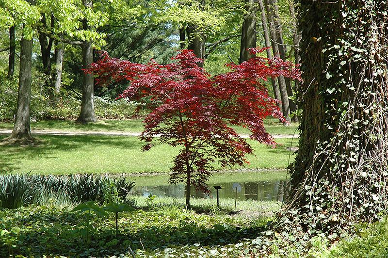Emperor I Japanese Maple (Acer palmatum \'Emperor I\') in Milwaukee ...