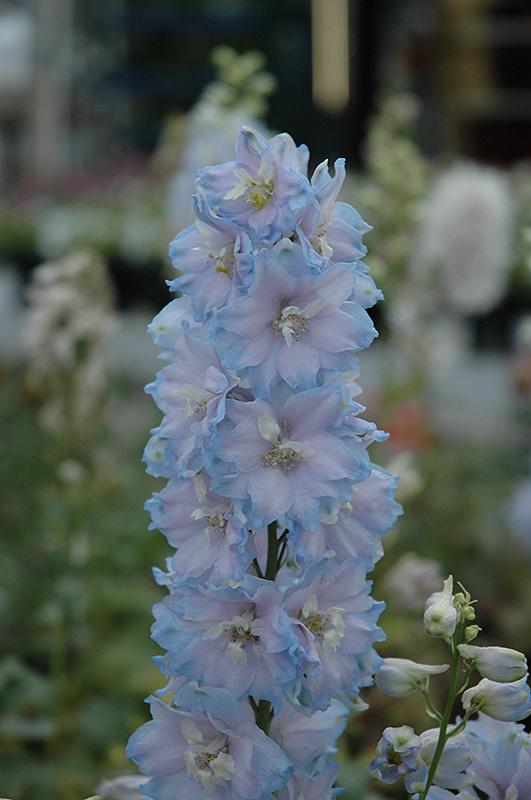 Magic fountains sky blue larkspur delphinium magic fountains sky magic fountains sky blue larkspur delphinium magic fountains sky blue at minors mightylinksfo