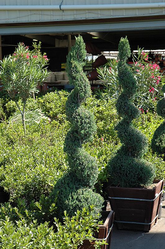 blue point spiral juniper  juniperus chinensis  u0026 39 blue point  spiral  u0026 39   in milwaukee brookfield