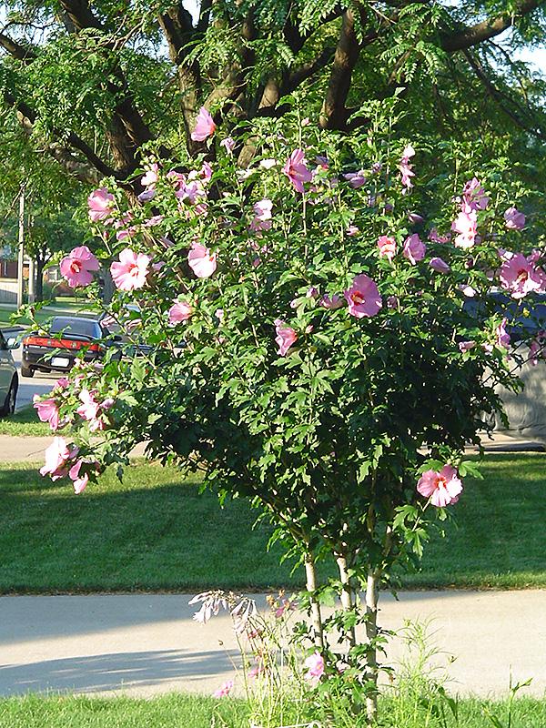 Aphrodite Rose Of Sharon Hibiscus Syriacus Aphrodite In