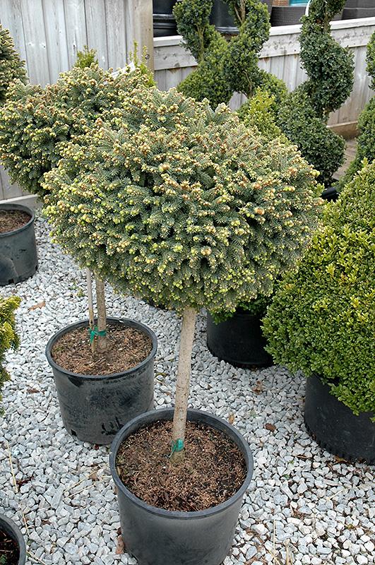 Little Gem Spruce On Standard (Picea abies \'Little Gem (tree form ...