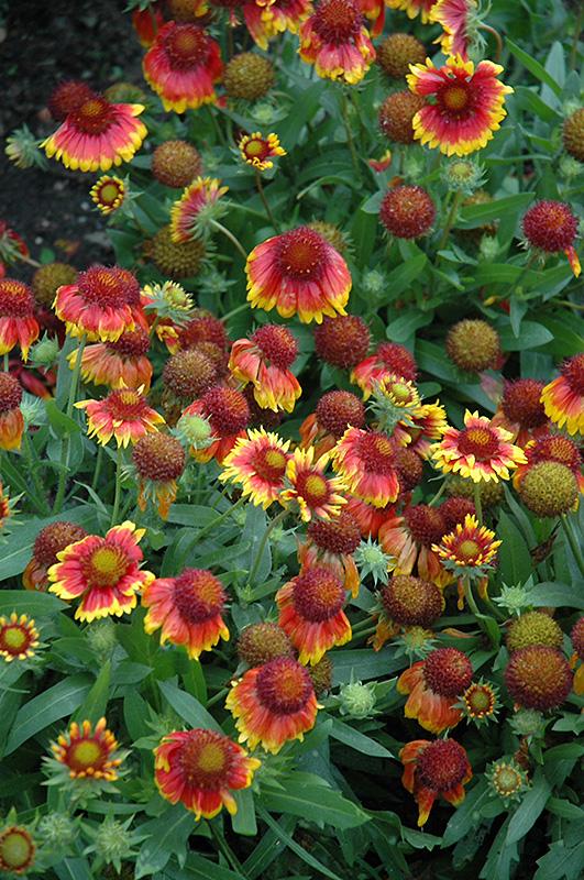Arizona Sun Blanket Flower (Gaillardia X Grandiflora