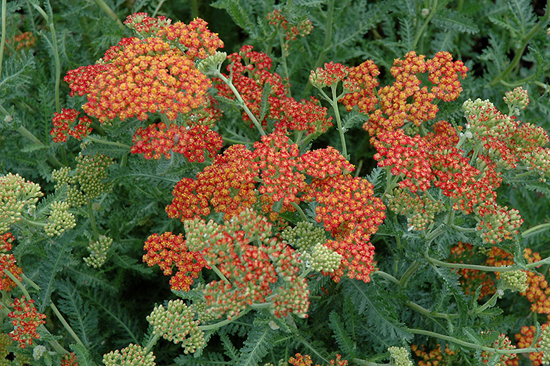 Feuerland Yarrow (Achillea Millefolium U0027Firelandu0027) At Minoru0027s Garden Center