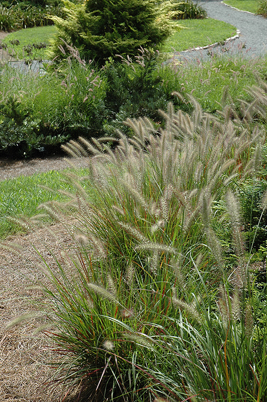 Cassian dwarf fountain grass pennisetum alopecuroides for Dwarf decorative grasses