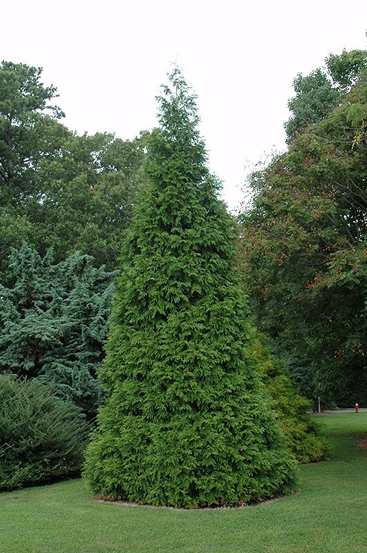 Green Giant Arborvitae Thuja Green Giant In Milwaukee