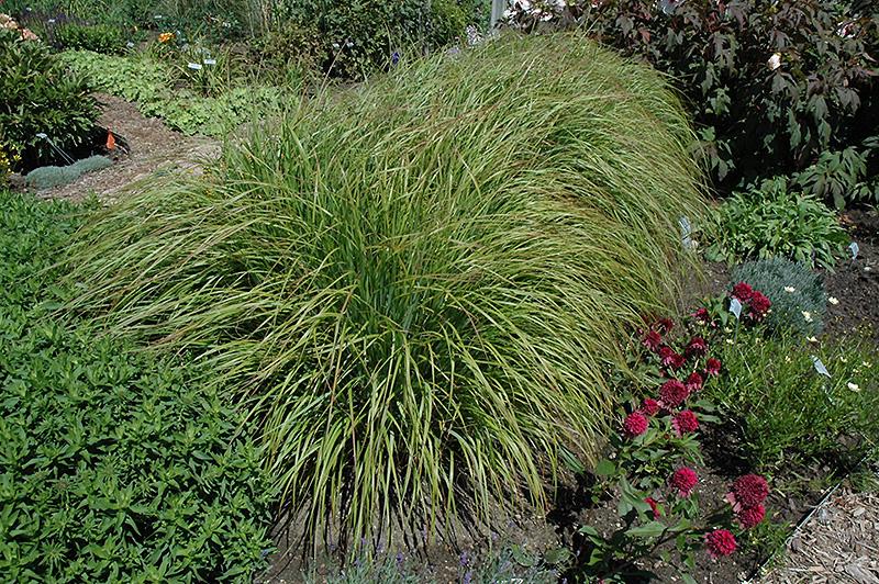 Desert Plains Fountain Grass Pennisetum Alopecuroides
