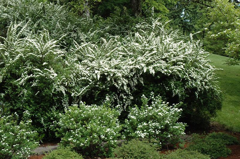 Snowmound Spirea (Spiraea nipponica \'Snowmound\') in Milwaukee ...
