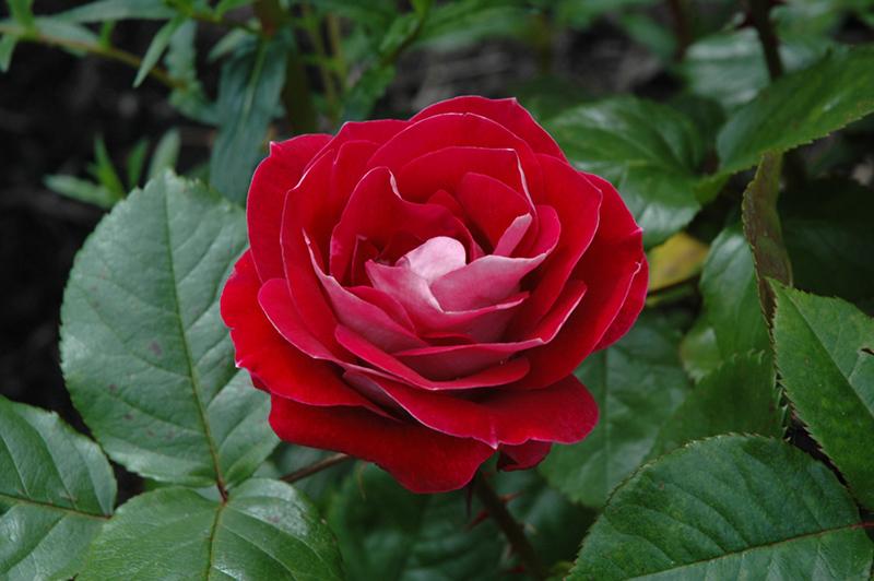 Simple Rose Garden: Take It Easy Rose (Rosa 'WEKyoopedko') In Milwaukee