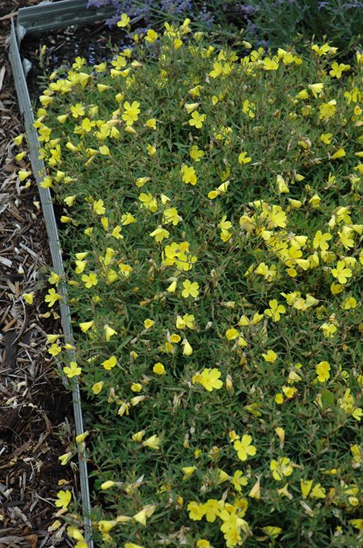 Yellow Perennial Flowers Ground Cover: Lemon Drop Sundrops (Oenothera 'Innoeno131') In Milwaukee