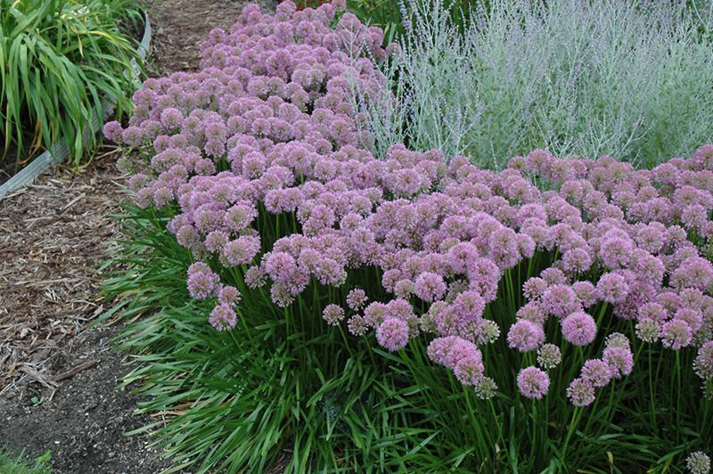 Millenium Globe Lily Allium Millenium in Milwaukee Brookfield – Plant World Nursery and Garden Center