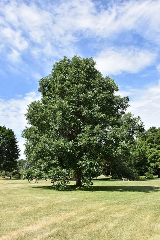 swamp white oak - White Oak Garden Center