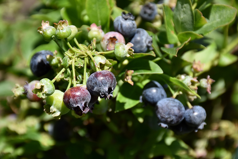 Brazelberries jelly bean blueberry vaccinium corymbosum 39 jelly bean 39 in milwaukee brookfield - Planting fruit trees in the fall a garden full of vigor ...
