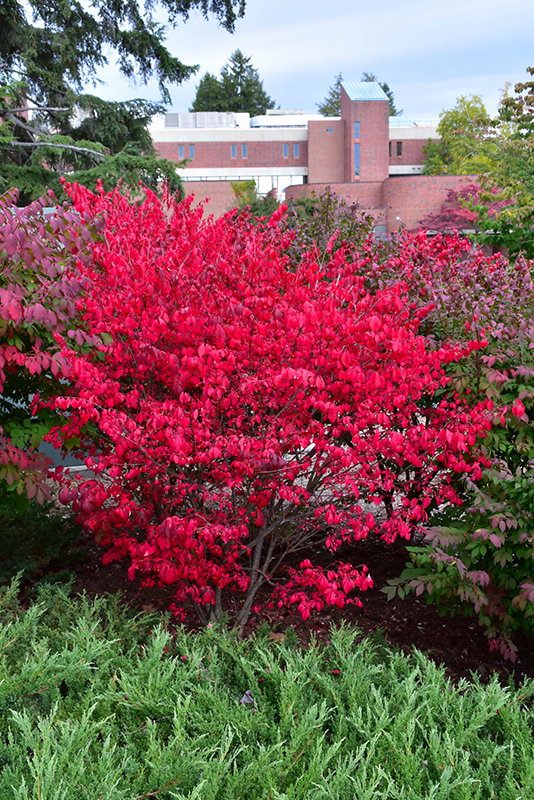 Dwarf Burning Bush Euonymus Alatus Compactus In