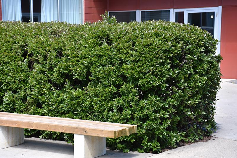 Peking Cotoneaster (Cotoneaster lucidus) in Milwaukee Brookfield ...