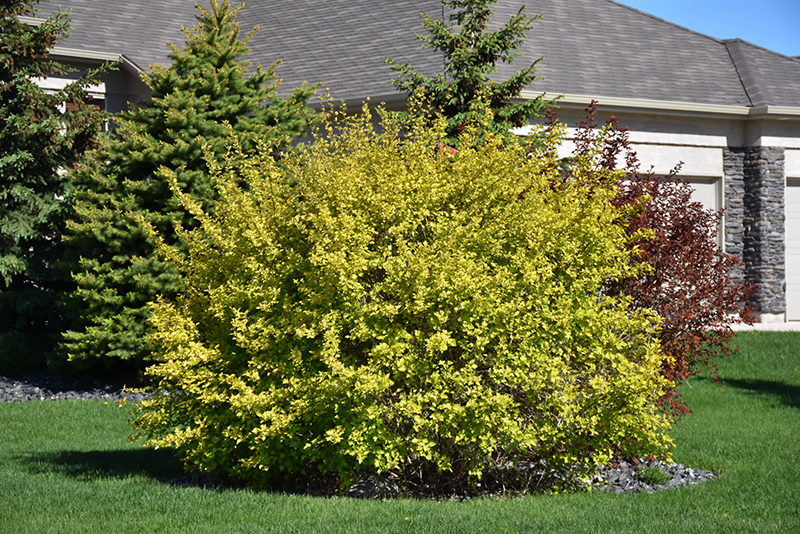 Chalet Nursery And Garden Center: Dart's Gold Ninebark (Physocarpus Opulifolius 'Dart's Gold