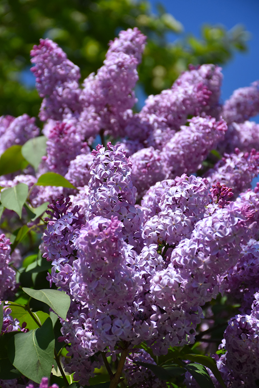 Old Fashioned Lilac Size