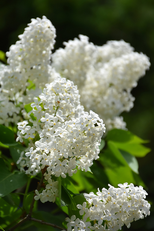 Common White Lilac Syringa Vulgaris Alba In Milwaukee