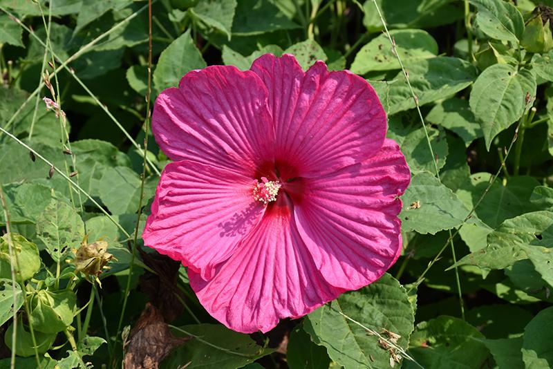 Luna Rose Hibiscus Hibiscus Moscheutos Luna Rose In Milwaukee