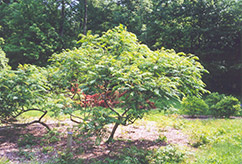 Cutleaf Smooth Sumac (Rhus glabra 'Laciniata') at Minor's Garden Center