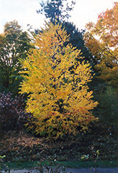 Katsura Tree (Cercidiphyllum japonicum) at Minor's Garden Center