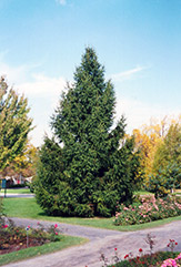 Norway Spruce (Picea abies) at Minor's Garden Center