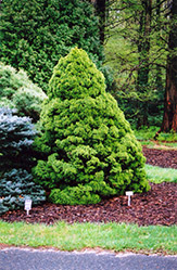Dwarf Alberta Spruce (Picea glauca 'Conica') at Minor's Garden Center