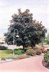 Deborah Norway Maple (Acer platanoides 'Deborah') at Minor's Garden Center