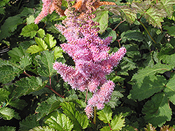 Heart and Soul Astilbe (Astilbe 'Heart and Soul') at Minor's Garden Center