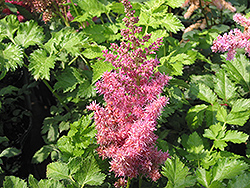 Stand and Deliver Astilbe (Astilbe 'Stand and Deliver') at Minor's Garden Center