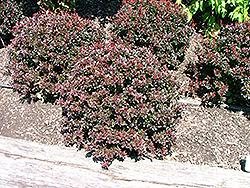 Pygmy Ruby Barberry (Berberis thunbergii 'Pygruzam') at Minor's Garden Center