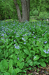 Virginia Bluebells (Mertensia virginica) at Minor's Garden Center