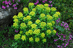 Cushion Spurge (Euphorbia polychroma) at Minor's Garden Center