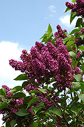 Charles Joly Lilac (Syringa vulgaris 'Charles Joly') at Minor's Garden Center