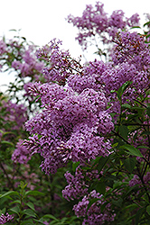 Chinese Lilac (Syringa x chinensis) at Minor's Garden Center