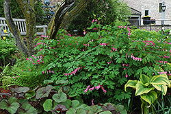 Old-Fashioned Bleeding Heart (Dicentra spectabilis) at Minor's Garden Center
