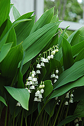 Lily-Of-The-Valley (Convallaria majalis) at Minor's Garden Center