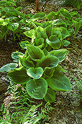 Frances Williams Hosta (Hosta 'Frances Williams') at Minor's Garden Center