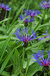 Blue Bachelor's Button (Centaurea montana) at Minor's Garden Center