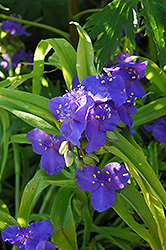 Sweet Kate Spiderwort (Tradescantia x andersoniana 'Sweet Kate') at Minor's Garden Center