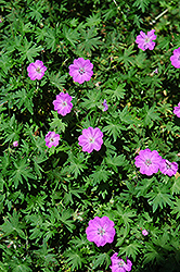 Bloody Cranesbill (Geranium sanguineum) at Minor's Garden Center